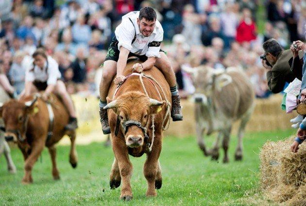 Фото скачки на быках